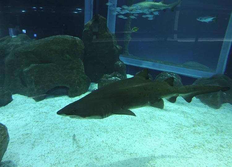 como-visitar-aquario-rio-de-janeiro-tubarao1