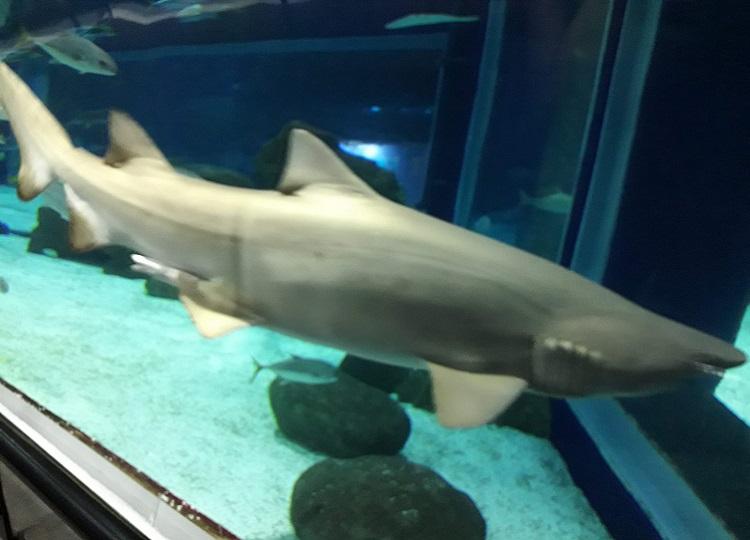 como-visitar-aquario-rio-de-janeiro-tubarao2